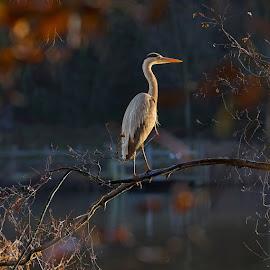 A w swietle lsnila jak srebro by Jaroslaw Tomczyk - Animals Birds ( bird, nature, grey heron, sunrise, morning )
