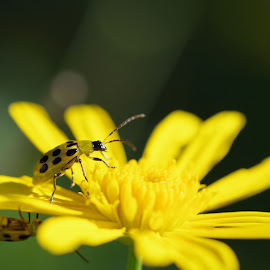Mirrored Tater Bugs by Buddy Boyd - Animals Insects & Spiders ( tater bugs, bug on flower, bug, yellow, flower,  )