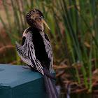Anhinga aka Snake Bird