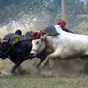 The Bull Race by Protim Banerjee - Sports & Fitness Watersports ( force, bull, race, energy )