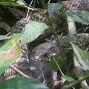 Cazadora - Middle America Indigo Snake