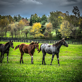 Out for a Walk by Paulo Peres - Animals Horses ( farm, race horses, horses, lexington, fall, bluegrass, kentucky )