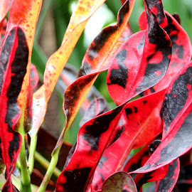 Costa Rica by Patricia Hider - Nature Up Close Leaves & Grasses ( close up leaves, red, red leaves, leaves, close up, plant leaves )