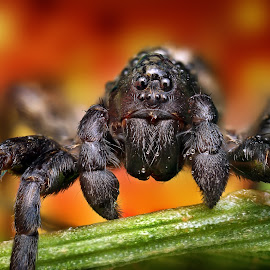 Wolfy by Ondrej Pakan - Animals Insects & Spiders ( macro, dew, bug, spider, dew drops, wolf spider, insect )