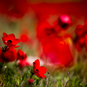 Red by Libin Michael - Flowers Flowers in the Wild ( red, 50mm, flowers, closeup )