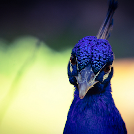 ...you lookin at me... by Angeline JoVan - Novices Only Wildlife ( bird, color, blue, peacock,  )