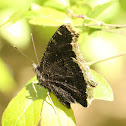 Mourning Cloak - ventral view