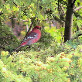 Kenai Red by Jim Dicken - Animals Birds ( red bird, kenai peninsula bird, alaska finch, red finch,  )