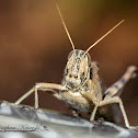 Gray-bird Grasshopper