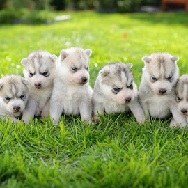 Huskies by Paweł Prus - Animals - Dogs Puppies ( siberian husky puppy puppies grey )