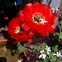 Echinopsis huacha red form