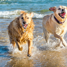 Seaside fun by Steve Norton - Animals - Dogs Running ( dogs, sea, beach, golden retriever,  )