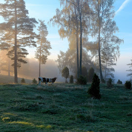 Morninglight; A typical Smaalandish (Sweden) landscape by Carina Carlin - Landscapes Forests ( sweden, frost, morning, landscape, light, cows )