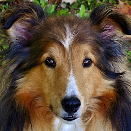Happy Fall! by Tim Hall - Animals - Dogs Portraits ( autumn leaves, autumn, fall, fallen leaves, dog, sheltie, shetland sheepdog. )