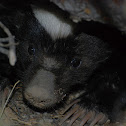 Hognosed Skunk