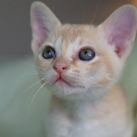 Dreamer by Krista Nurmi - Animals - Cats Kittens