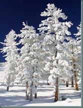 Snow clad trees