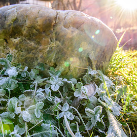 Frozen Sunshine by Andreea Alexe - Nature Up Close Rock & Stone ( grass, color, bright, glare, frost, flare, leaves, rays, sun,  )