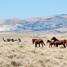 Wild Horses of Nevada by Samantha Linn - Animals Horses
