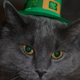 Mr McSmokey by Corinne Noon - Animals - Cats Portraits ( smokey, cat, green, furry, gray, eyes, animal )