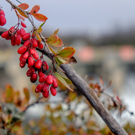 Fire thorn berries by Jack Brittain - Nature Up Close Trees & Bushes ( trenton, fire thorn, canada, nature, bush, ontario, berries )