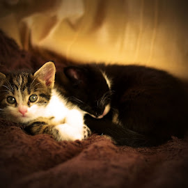 by Barry Van de Laar - Animals - Cats Kittens ( cats, animals, cat, kittens, portrait )