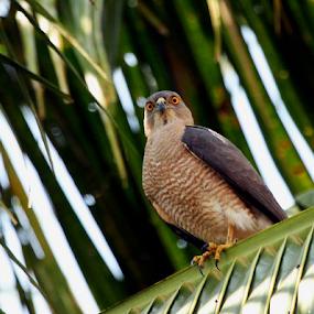Shikra... by Nithya Purushothaman - Animals Birds