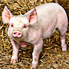 Pig Sound Effects icon