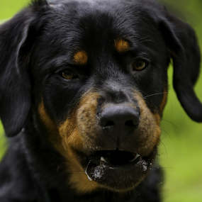 Growwwl by Nancy Merolle - Animals - Dogs Portraits ( growl, angry, dog, close-up, portrait, rottweiler, animal,  )