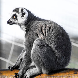 Crouching Lemur by Dylan Barlow - Novices Only Wildlife ( north wales, colwyn bay, wales, welsh mountain zoo, lemur, cymru,  )
