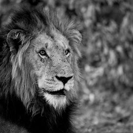 Handsome Boy by Kim Stockley - Animals Lions, Tigers & Big Cats ( lion, black and white, safari, south africa, beauty in nature,  )