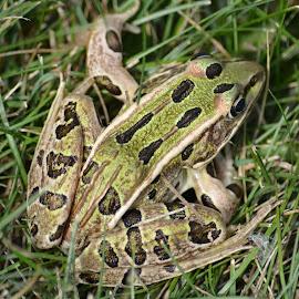 by Shannon Barr - Animals Amphibians (  )