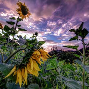Sunflowers by Ivan Bertusi - Landscapes Sunsets & Sunrises ( field, colors, sunset, sunflowers, yellow, light, evening )