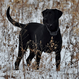 Gracie on Alert by Rob Ebersole - Animals - Dogs Playing ( labrador retriever, hunting, lab )