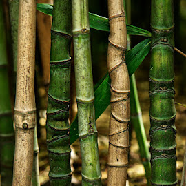 Bamboo by Miss Panic - Nature Up Close Other plants ( bamboo, greenbrown, tree, nature, green, nature up close )