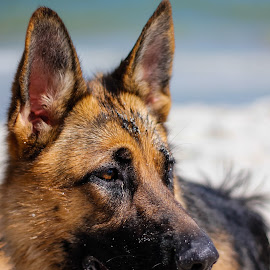 Portrait of Ilsa by Alina Dragan - Animals - Dogs Portraits ( animals, sunny, dog portrait, beach, dog,  )