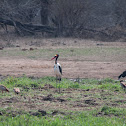 Saddle-billed Stork with Egyptian Geese
