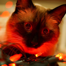 Red glow by Janice Poole - Animals - Cats Playing (  )