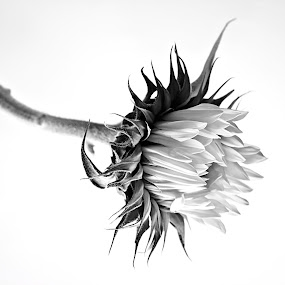 Pure by Chantal Bellefeuille - Flowers Single Flower ( #b&w #black and white #flower #nature #black & white )