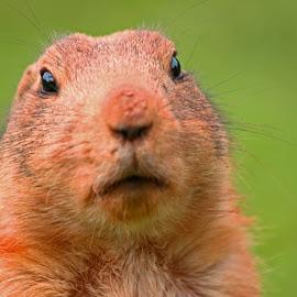 Groundhog Day by Steve Cornforth - Animals Other Mammals ( cumbria, groundhog, eye contact, mammal, groundhog day )