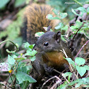 Ardilla de Cola Roja / Red-tailed Squirrel