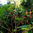 Árbol de los tomates