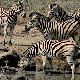 Zebras at water hole by Amanda Swanepoel - Animals Other Mammals