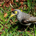 Noisy Miner Bird