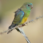 Red Rump Parrot (Juv.)