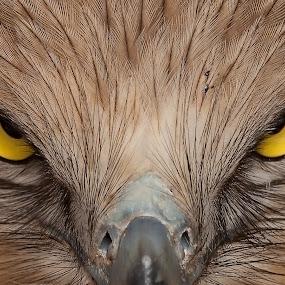 I m Angry by Nikos Pa - Animals Birds ( snake eagle )