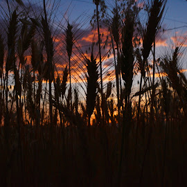 Wheat heads. by Denton Thaves - Landscapes Sunsets & Sunrises ( silhouette )
