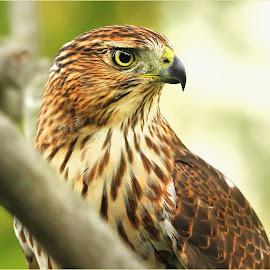Hawkish Visitor by Dennis Ba - Animals Birds ( falcon, profile )