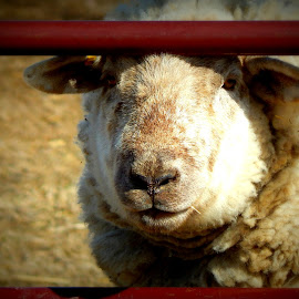 Sheep peek a boo by Tara Hodge - Animals Other