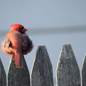 I Think I'll Stay A While by Melanie Melograne - Animals Birds ( red bird, red cardinal, bird perched on a fence )